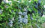 Bilberry herb- Vaccinium myrtillus L