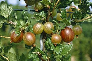 gooseberries herb