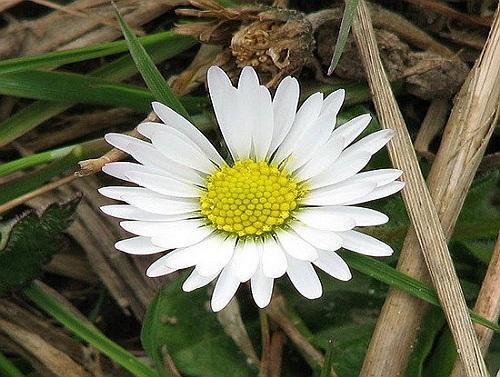 banuti planta medicinala-daisy herb