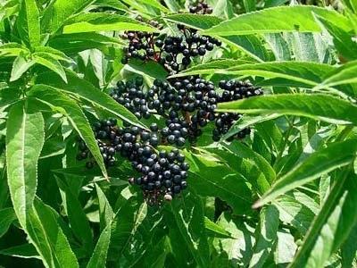Danewort Herb