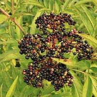boz planta medicinala-danewort herb