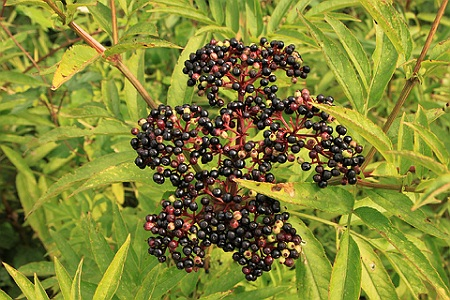 Boz Planta Medicinala