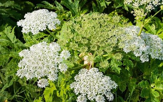branca ursului planta medicinala-hogweed herb