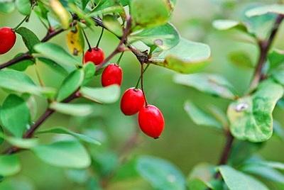 dracila planta medicinala-barberry herb
