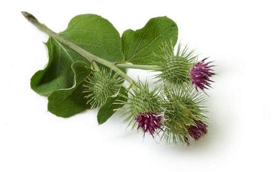 brusturele planta medicinala-burdock herb