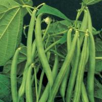 fasolea planta medicinala-beans herb