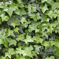 Iedera planta medicinala-English Ivy herb