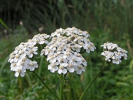 coada soricelului planta medicinala-yarrow herb