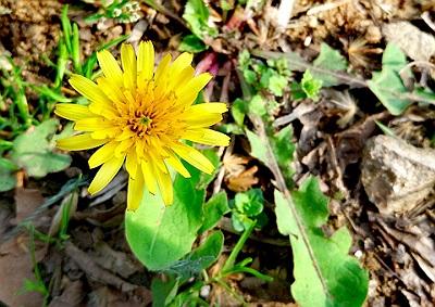 Papadia planta medicinala