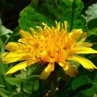 papadia planta medicinala-dandelion herb