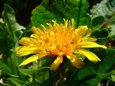 Dandelion herb