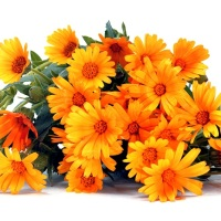 galbenele planta medicinala-marigold herb