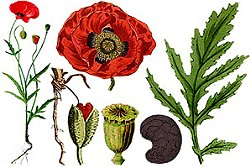 mac salbatic planta medicinala