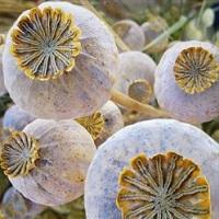 mac planta medicinala-poppy herb