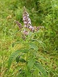 menta planta medicinala