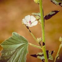 nalba planta medicinala-marshmallow herb