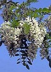 salcamul planta medicinala-black locust herb