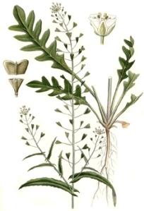 shepherd's purse herb