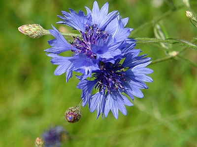 chicory herb-cicoare