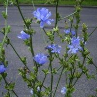 Cicoare planta medicinala-chicory herb