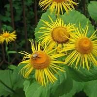 iarba mare planta medicinala-elecampane herb