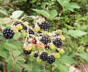 mur planta medicinala-blackberry herb