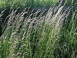 couch grass herb-pirul planta medicinala