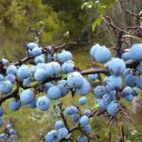 porumbarul planta medicinala-blackthorn herb