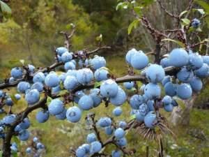 porumbarul planta medicinala