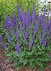 salvia planta medicinala-sage herb