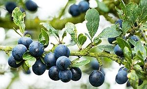 blackthorn herb