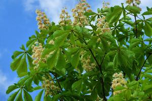 castan salbatic planta medicinala-horse chestnut herb