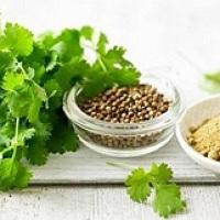 coriandru planta medicinala-cilantro herb