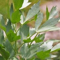 leusteanul planta medicinala-lovage herb