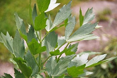 Leustean Planta Medicinala