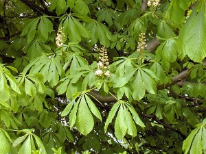 Castan Salbatic Planta Medicinala