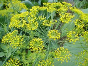 marar planta medicinala-dill herb