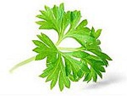 patrunjel planta medicinala-parsley herb