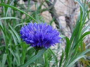 albastrita planta medicinala-cornflower herb