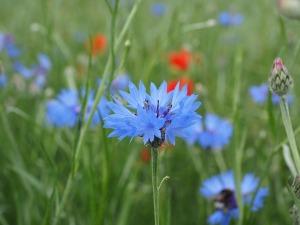 albastrita planta medicinala