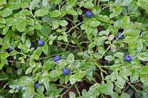 Afinul Planta Medicinala