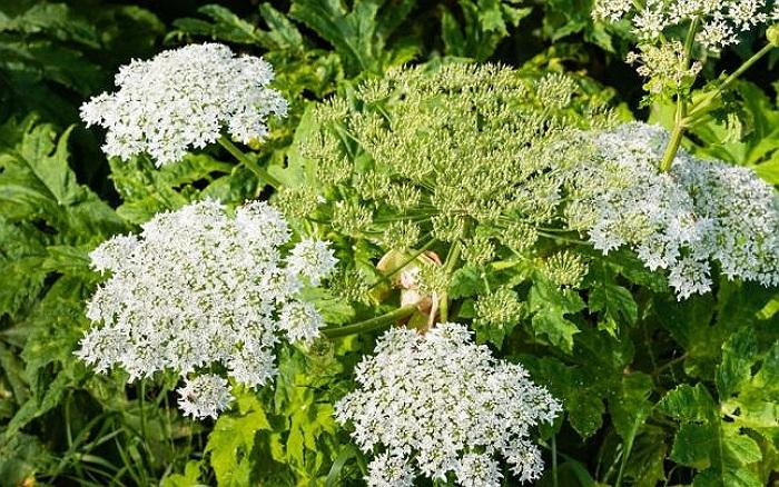 Angelica Planta Medicinala-Angelica Herb