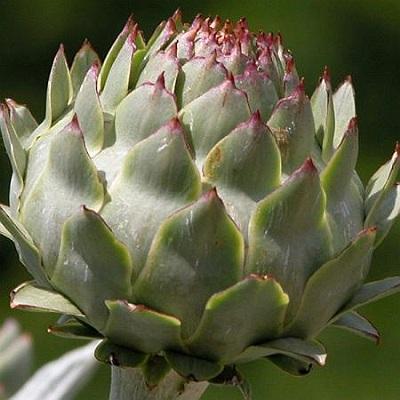 anghinare planta medicinala-artichoke herb