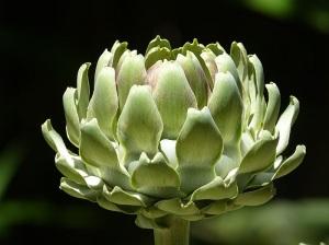 Anghinare Planta medicinala