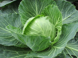 natural treatments with cabbage