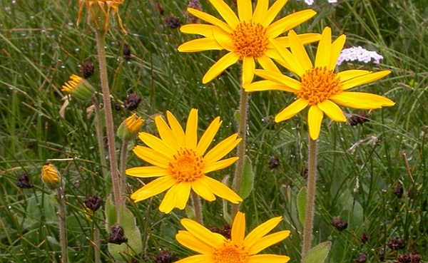 arnica planta medicinala-arnica herb