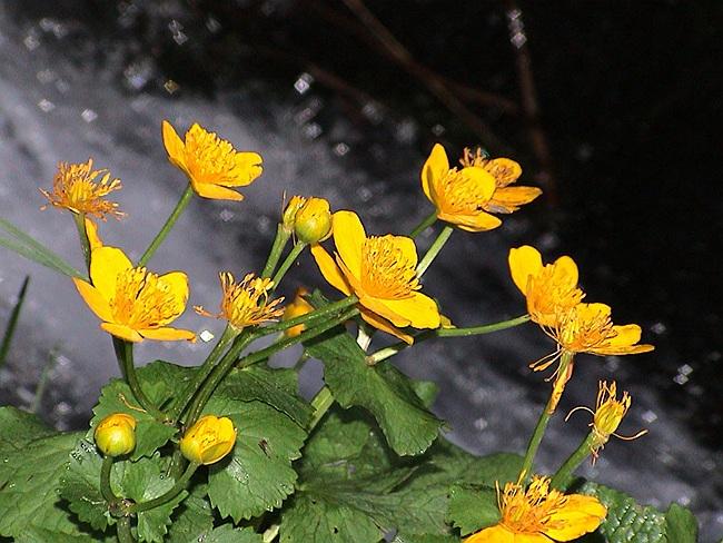 calceaua calului planta medicinala-marsh marigold herb
