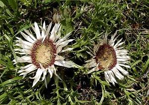 carul zanelor planta medicinala-carline thistle herb