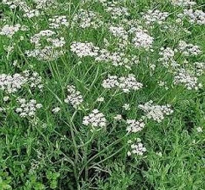 chimen planta medicinala-caraway herb