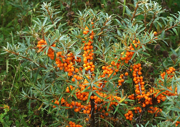 catina planta medicinala-sea buckthorn herb